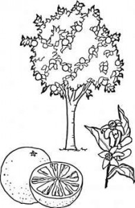 orange-tree-coloring-page