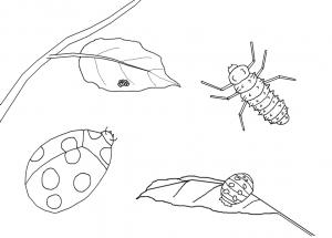 ladybug-life-cycle-coloring-page