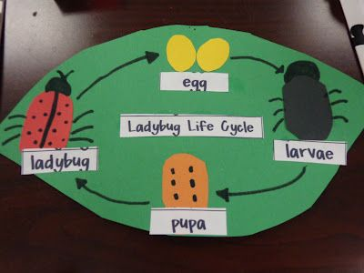 ladybug life cycle diagram