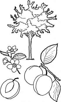 abricot-tree-coloring-page