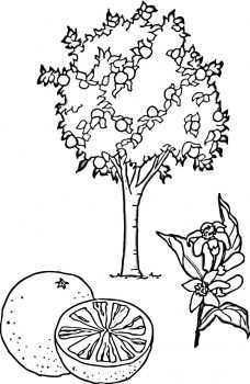 orange-tree-coloring-page