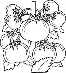 tomato coloring
