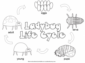 life-cycle-of-a-lady-bug-color-pages-for-kids