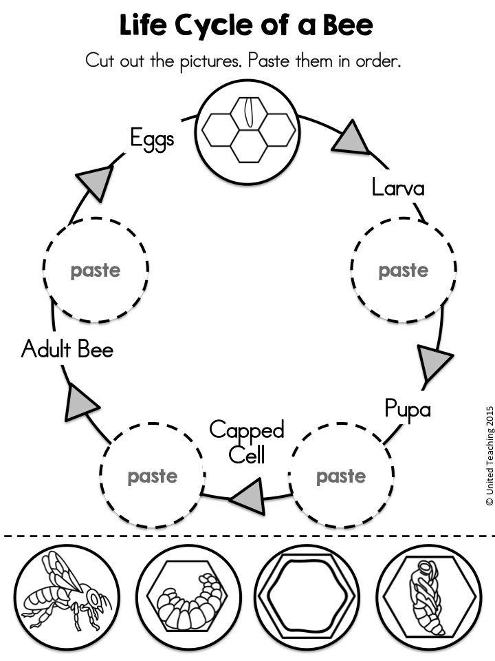 bee life cycle worksheet