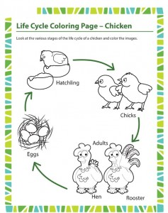 life-cycle-coloring-page-chicken